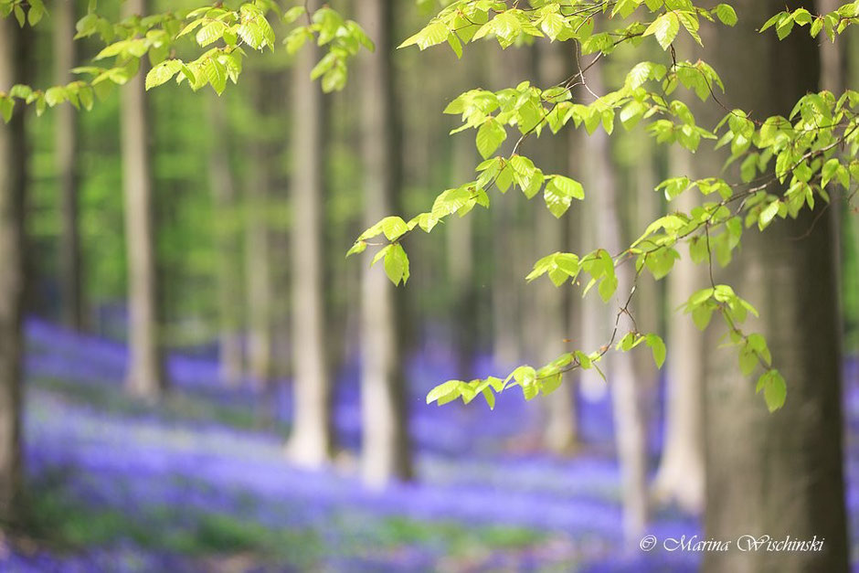 Frisches Grün  im blauen Wald
