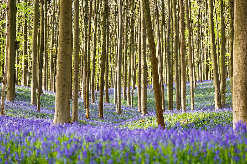Blaue Wogen im Hasenglöckchenwald