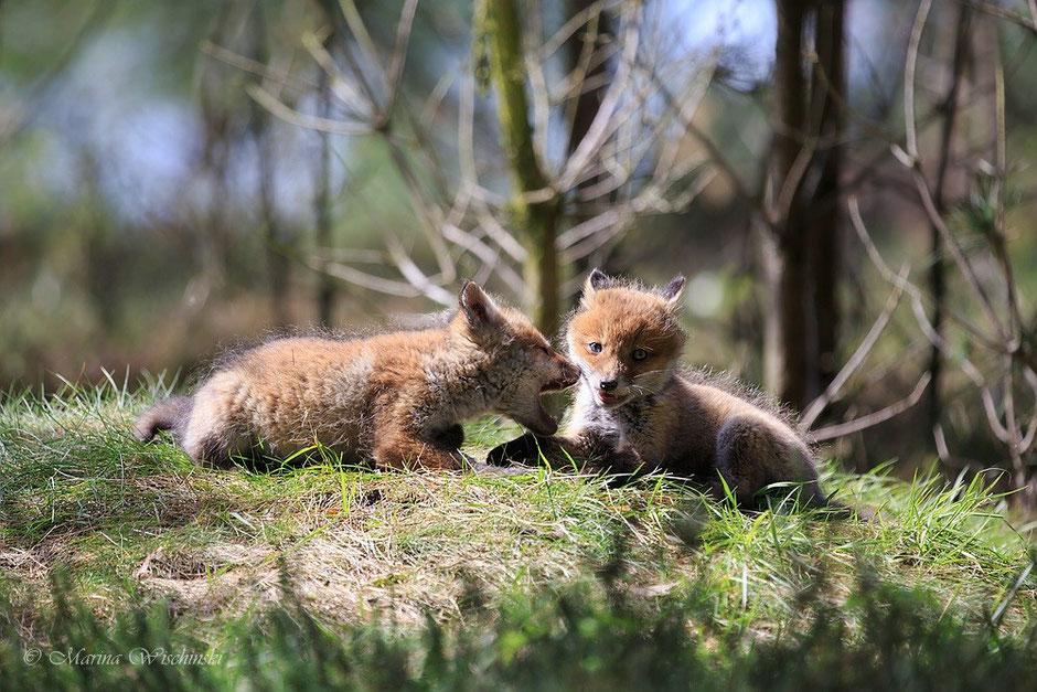 Rotfuchs-Welpen (Vulpes vulpes)