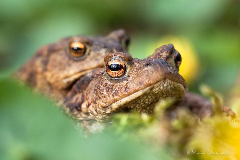 Erdkröten auf dem Weg zum Laichgewässer