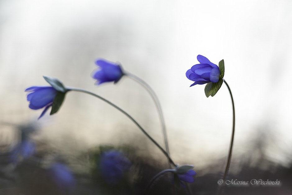 Leberblümchen (Hepatica nobilis), am Ende des Tages,  zart und zerbrechlich, nur  kurz ist ihre Blütezeit