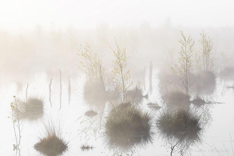 Junge Birken im Nebelmoor