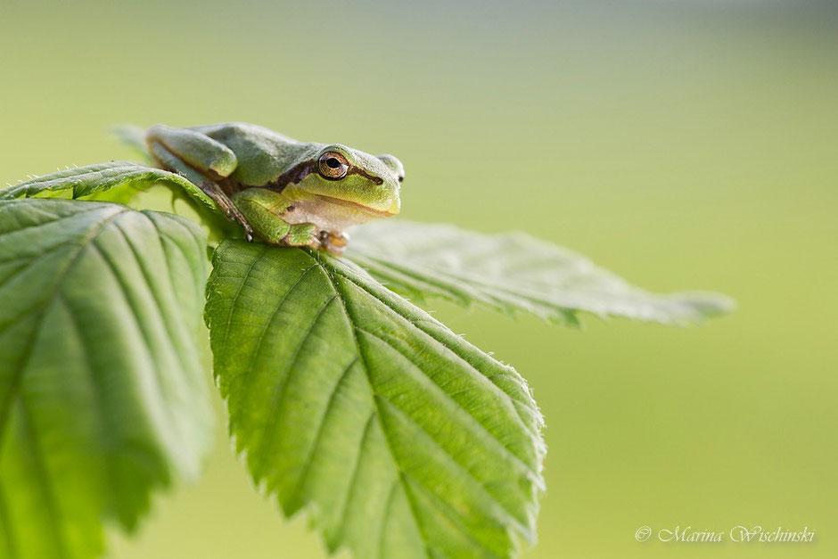 Der Laubfrosch (Hyla arborea)