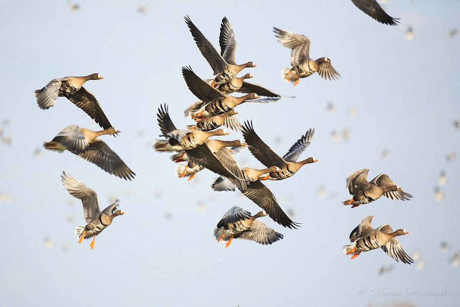 Fliegende Blässgänse (Anser albifrons)...