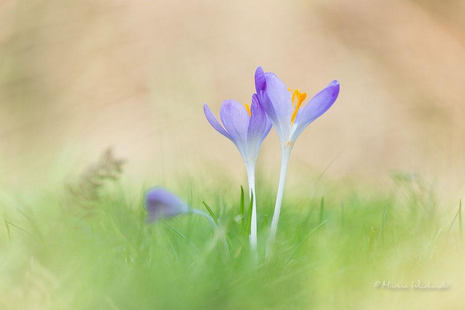 Frühlings-Krokus (Crocus vernus), oder Frühlings-Safran