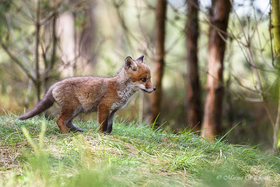 Fuchswelpe hält Ausschau...