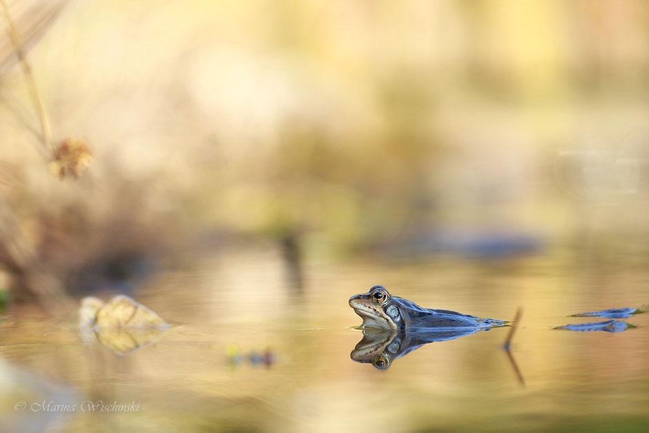 Grasfrosch (Rana temporaria) bei schönstem Licht in seinem Laichgewässer