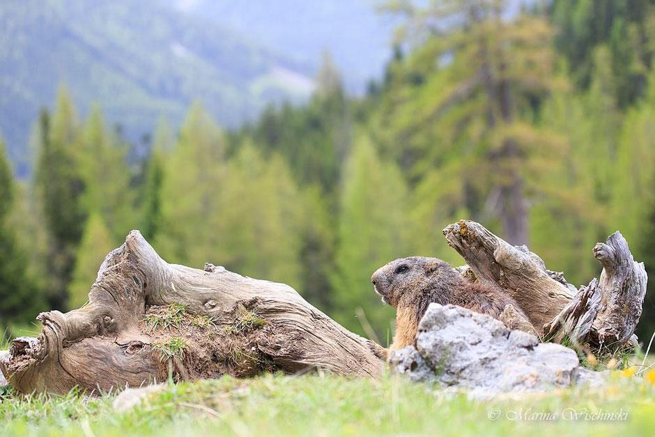 Alpenmurmeltier (Marmota marmota) in seinem Habitat