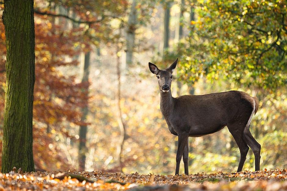 Rothirschkuh (captive) im herbstlichen Wald