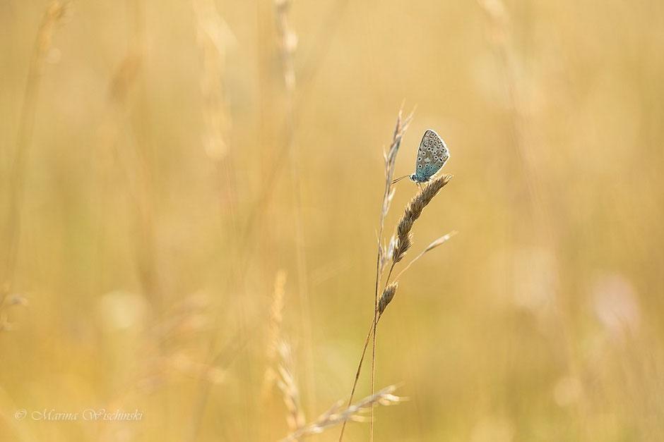 Ein winziger Bläuling (Lycaenidae) am Ende des Sommers