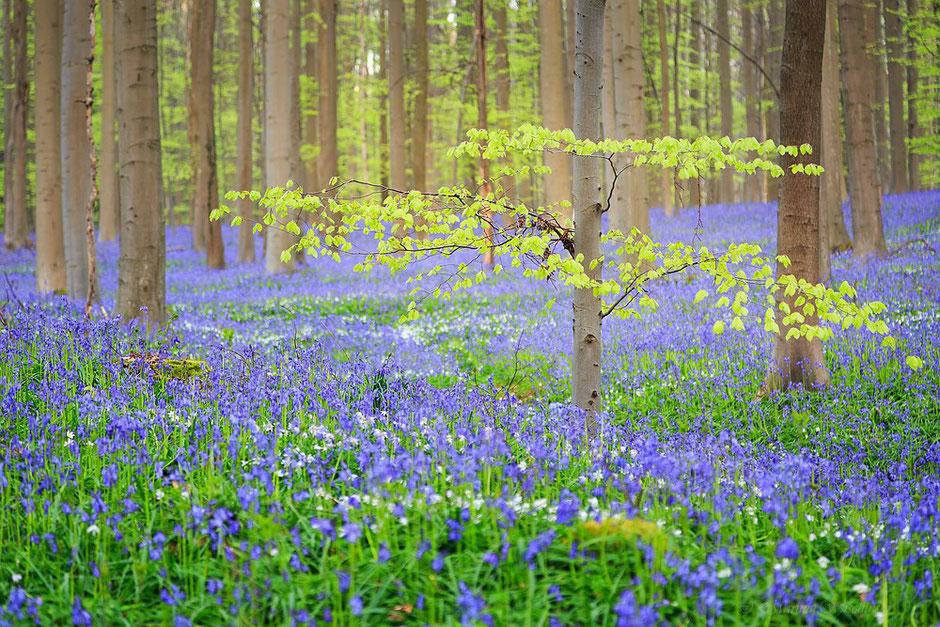 Im Hasenglöckchenwald