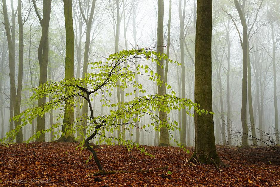 Junge Buche im Nebelwald