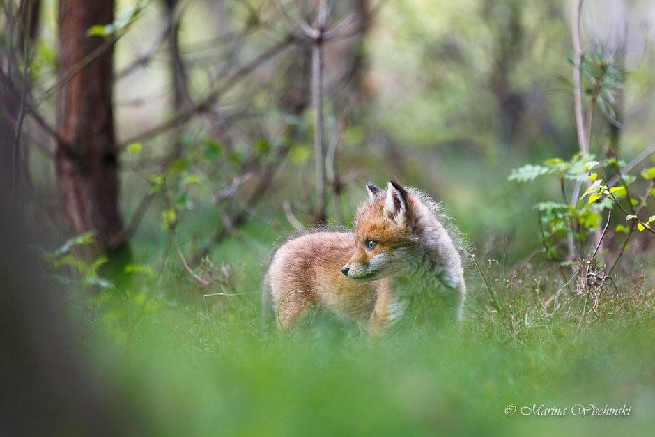 Rotfuchs-Welpe (Vulpes vulpes)