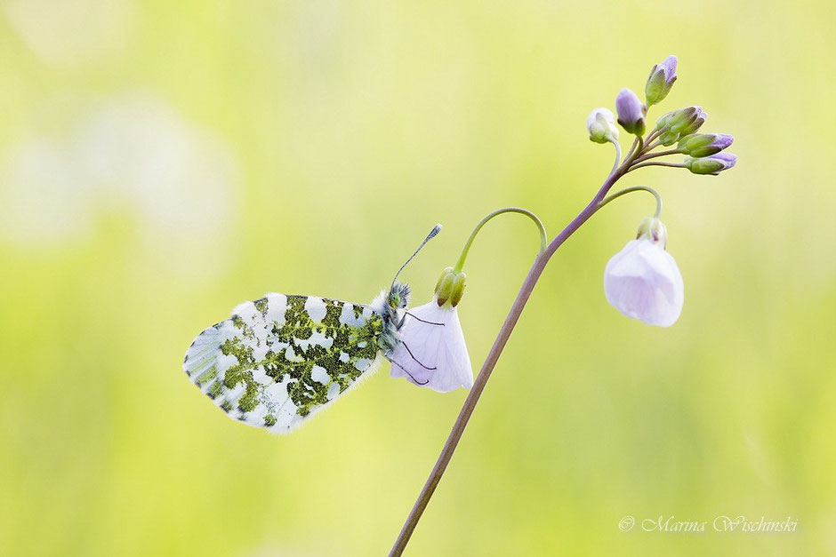 Weiblicher Aurorafalter (Anthocharis cardamines)