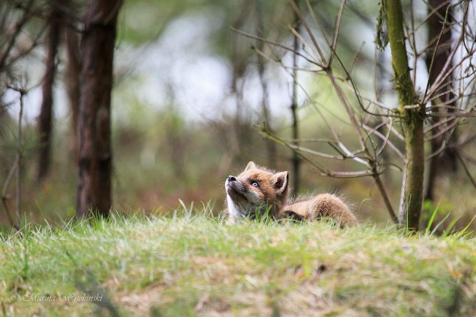 Fuchswelpe (Vulpes vulpes) beobachtet einen Vogel