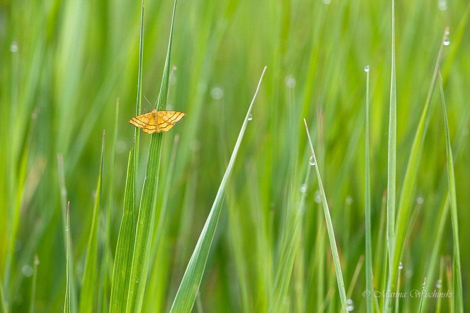 Goldgelber Magerrasen-Zwergspanner (Idaea aureolaria) im grünen Gras