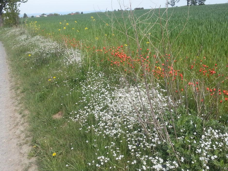 Blumen am Wegesrand nach Oberfrauendorf
