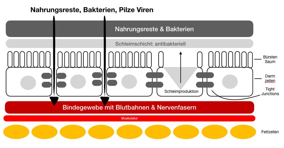 Good Life Getreide: Wenn die Tight Junctions geöffnet sind, haben Bakterien, Viren, Pilze und Nahrungsreste leichtes Spiel. Die Folge ist immer eine Aktivierung des Immunsystems mit einer Entzündung. Kurzfristig kein Problem langfristig entstehen weitere