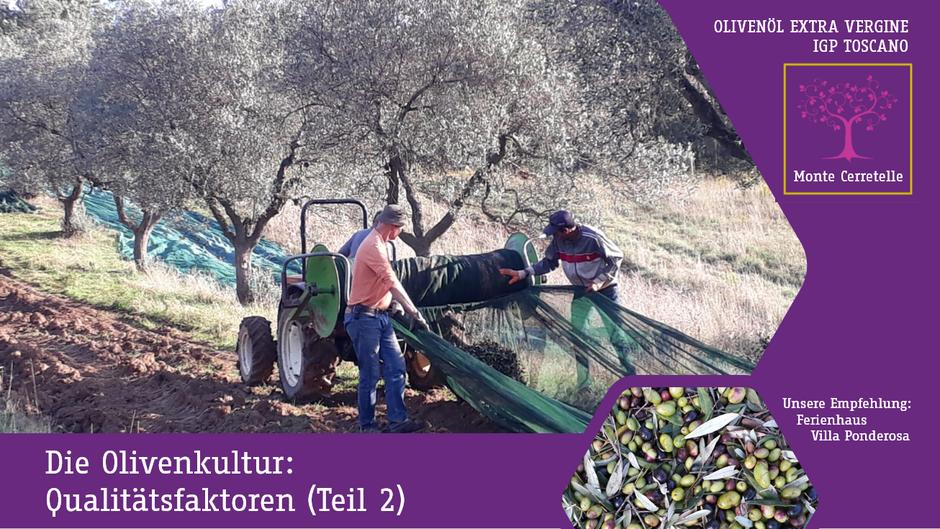Die Olivenkultur: Qualitätsfaktoren, Anbaumethoden: Schnitt, Pflege, Düngung und Ernte