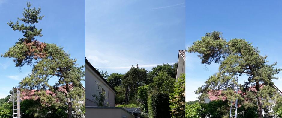 Baumpflege mit Kletter Support GmbH Köln / Bonn