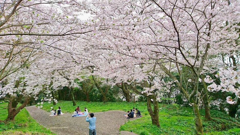 福岡 糸島の鎮懐石八幡宮は桜の名所 Sakura cherry blossom viewing spot in Itoshima, Fukuoka