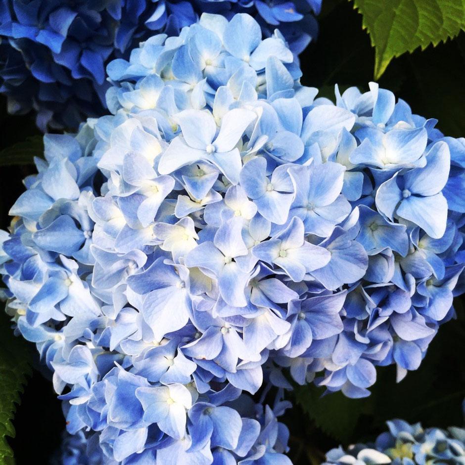 Hydrangeas Flower Tokyo Akishima TAMA Tourism Promotion - Visit Tama  紫陽花 東京都昭島市 多摩観光振興会