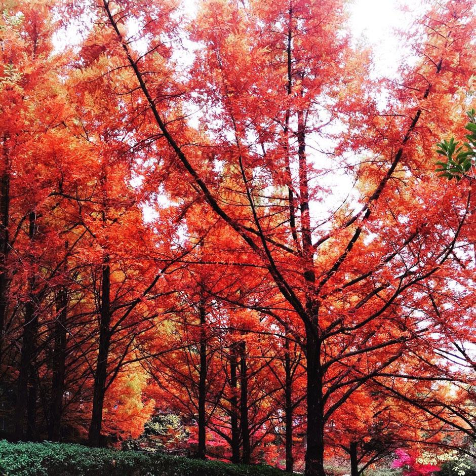 Red Leaves autumn season in Western Tokyo Tama area nature healing retreat tourist period TAMA Tourism Promotion - Visit Tama 秋の紅葉シーズン 東京都 多摩地域 自然 癒し リフレッシュ 観光シーズン 多摩観光振興会