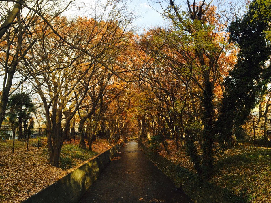 Tamagawajosui Aqueduct with Yellow Leaves Tokyo Tachikawa waterway walking nature healing tourist spot TAMA Tourism Promotion - Visit Tama 玉川上水の紅葉 東京都立川市 水路 散策 自然 癒し 観光スポット 多摩観光振興会