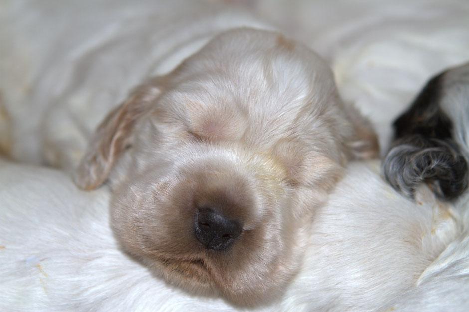 Cachorro Chocoblue