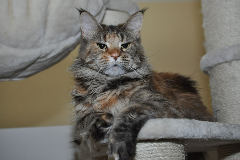 black brown tortie classic tabby maine coon cat