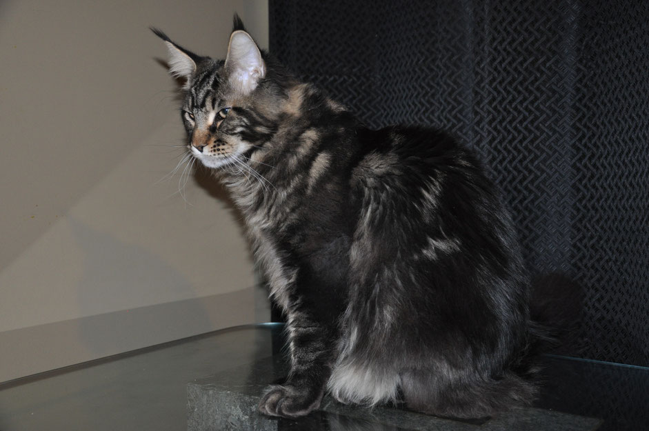 European Maine Coon for sale in USA