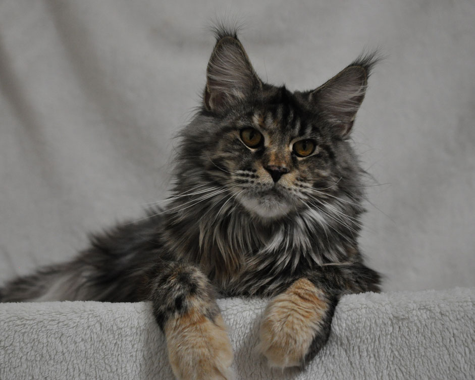 silver torbie classic tabby maine coon cat