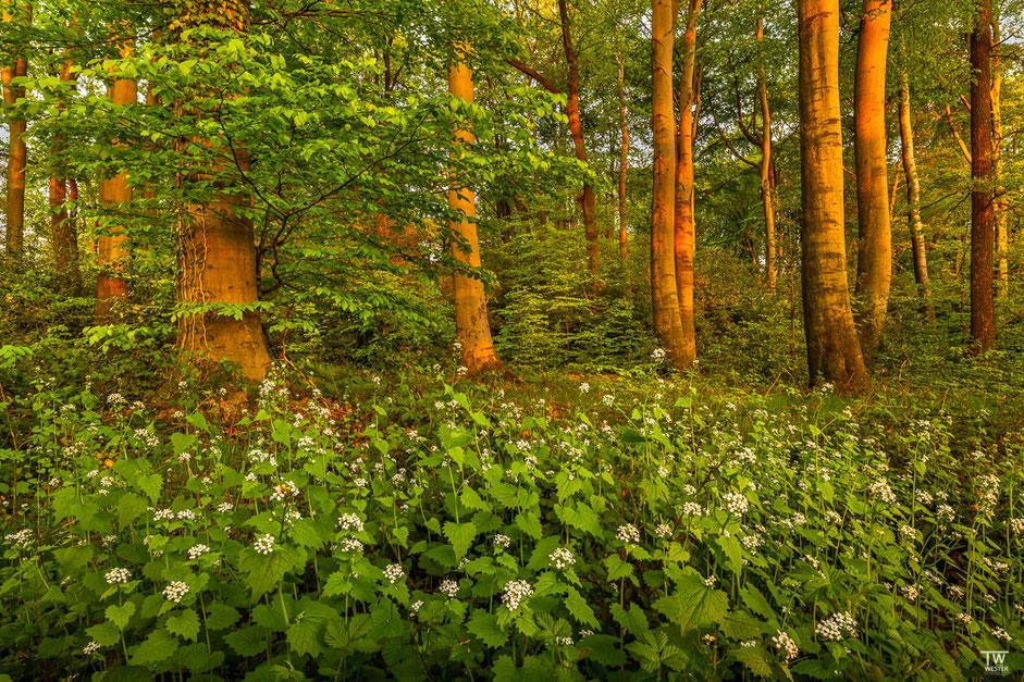 Knoblauchsrauken bedeckten vielerorts den Waldboden (B1966)