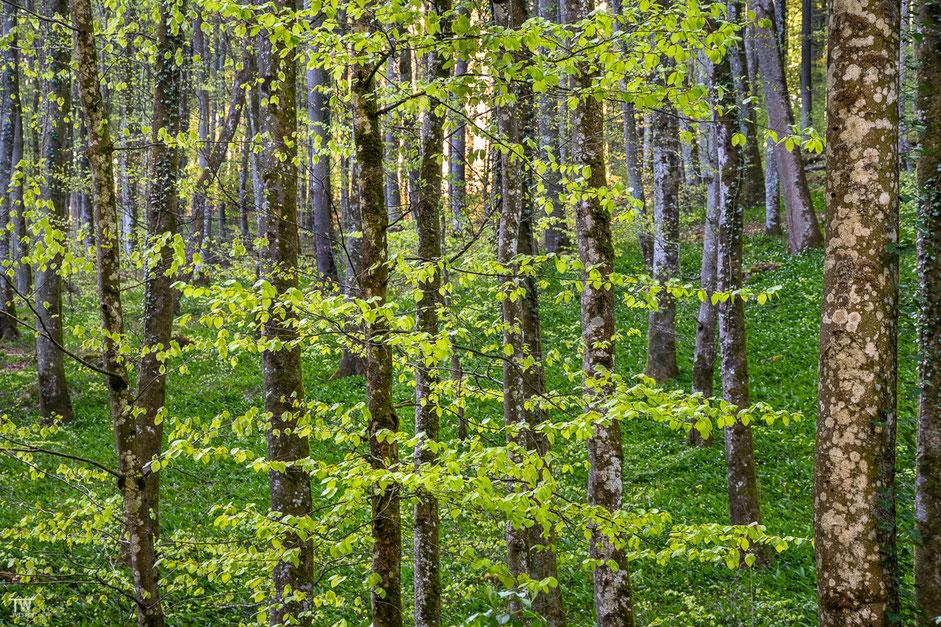 Auch die Buchenwälder wurden zum Leben erweckt (B1968)