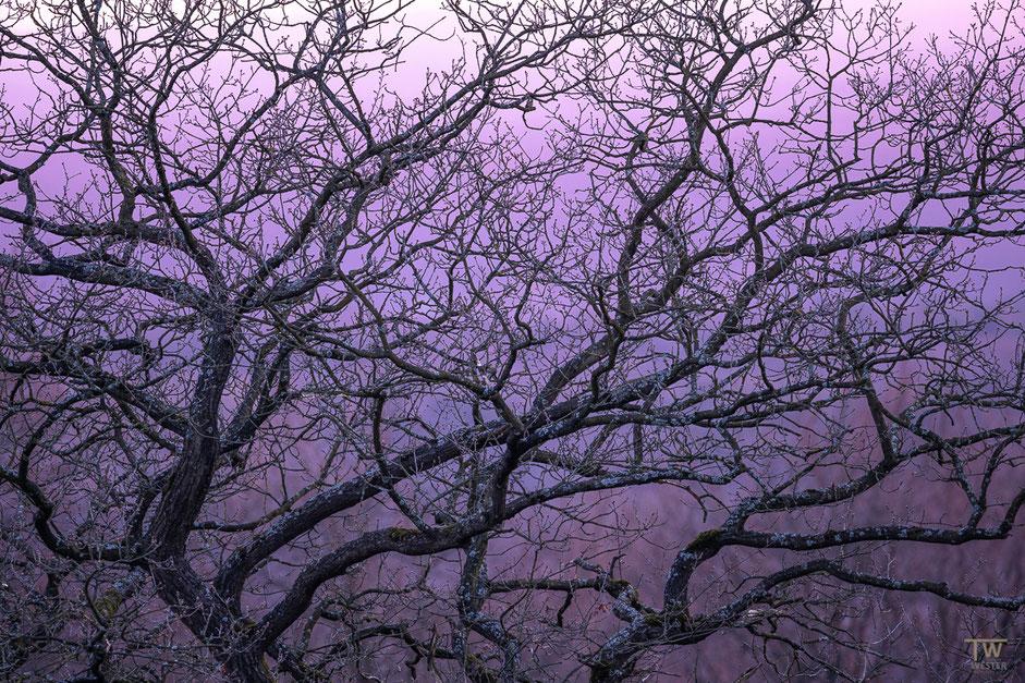 An diesem Baum zeigten sich bereits die ersten Knospen, ich fand die Astverläufe sehr schön vor Ort (B1970)