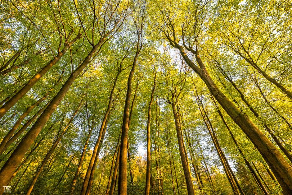 Die Gevelsberger Buchen reichen teilweise sehr hoch und werden bis ca.40m hoch (B1961)