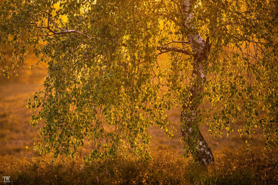 Und die letzten 5 Bilder dieses Blogeintrages sind erst gestern Abend entstanden…hier eine Birke im goldenen Abendlicht (B1956)