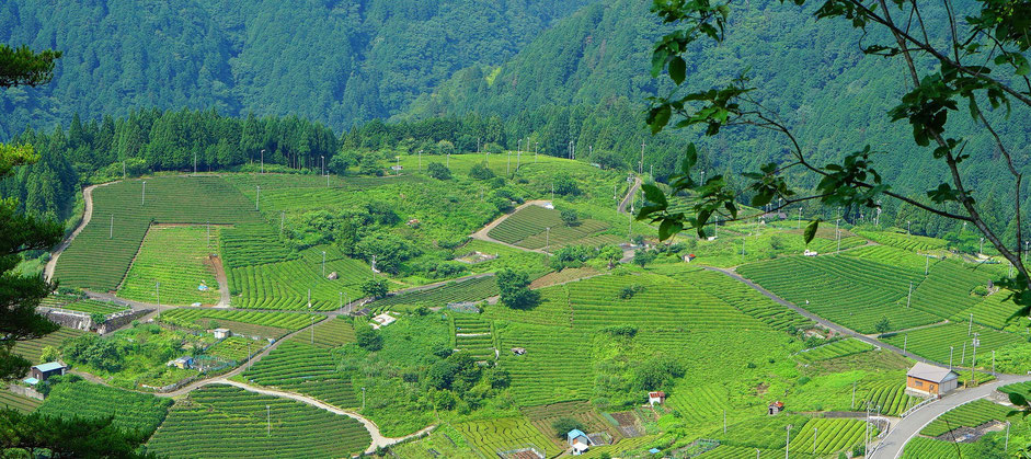 Piantagione di tè verde