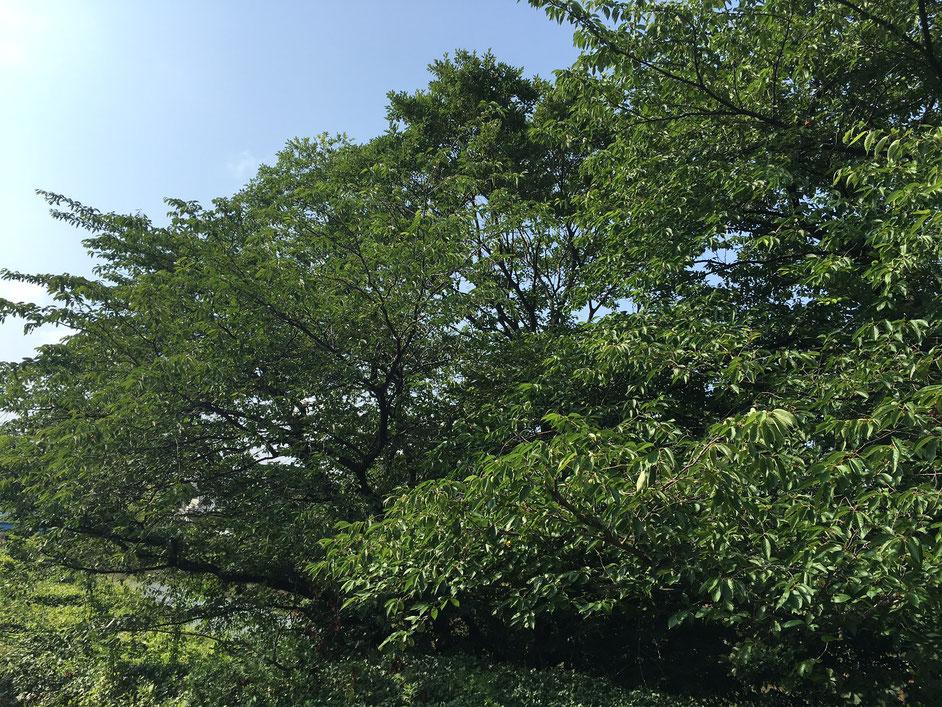 事務所前の桜の木 陽を浴びて青々した葉っぱが美しい
