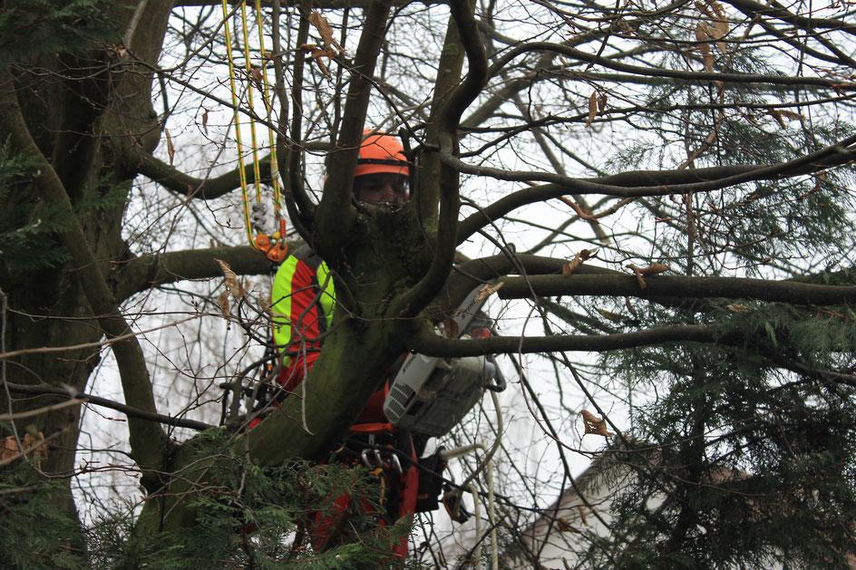 Baumrückschnitt und Telefonleitung frei schneiden (Pieterlen)