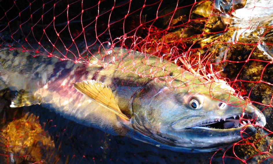 RUDOW8500サケ釣り用本流竿で釣り上げられたサケ