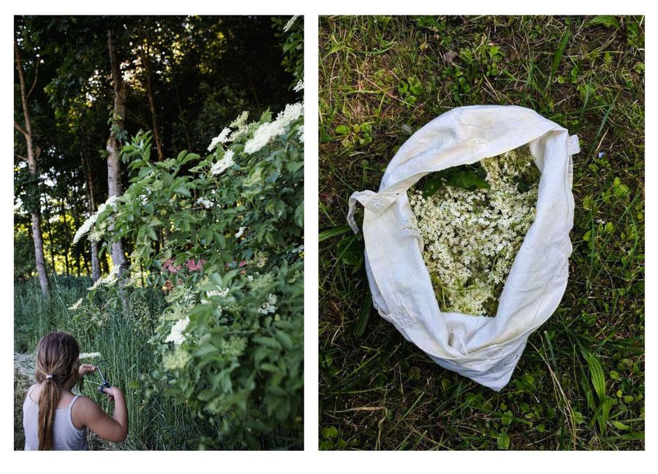Holunderblüten sammeln am Waldrand und gebackene Holunderblüten (Hollerkücherl)