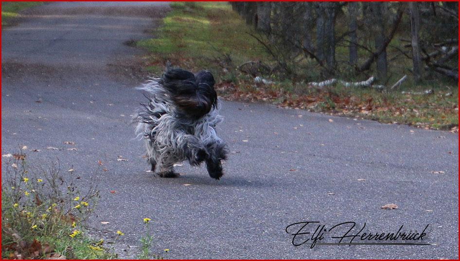 Schapendoes rennt