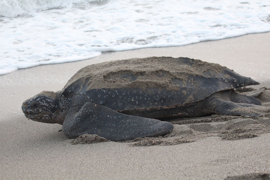 Tortoise On a Shore of a Ocean / Shell Really Embedded With Sandy Particles / Civilization of A Fauna & Animalistic View Just Formidable & Nature Splendid / Let's Name this Turle Leonardo