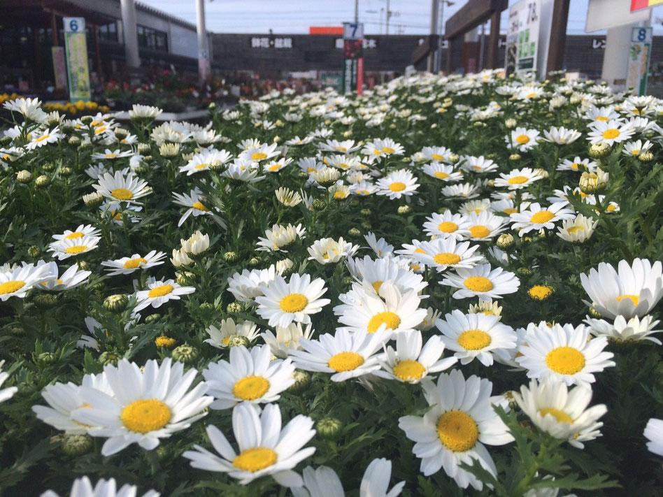 シンプルな白い花と茎の緑 ノースポールの花