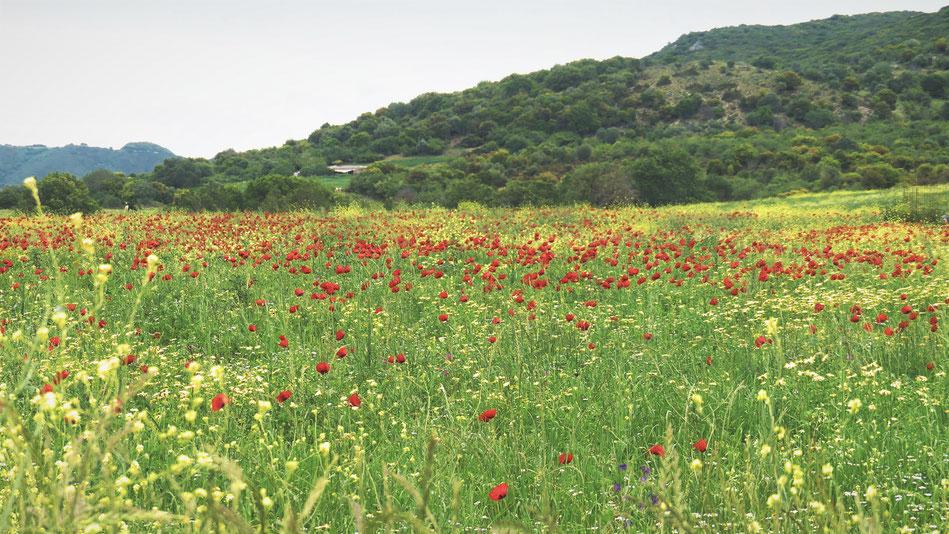 COQUELICOTS FLEURS CHAMPS BIGOUSTEPPES GRECE