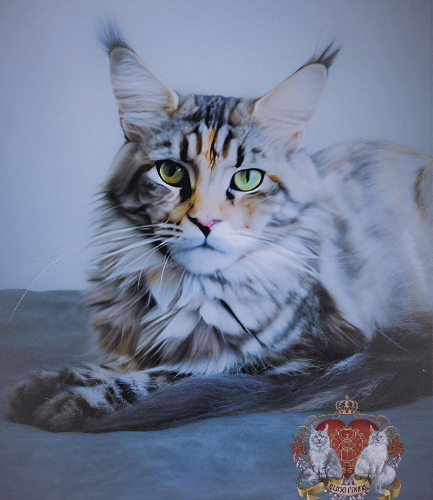 classic tortie maine coon breeder cat
