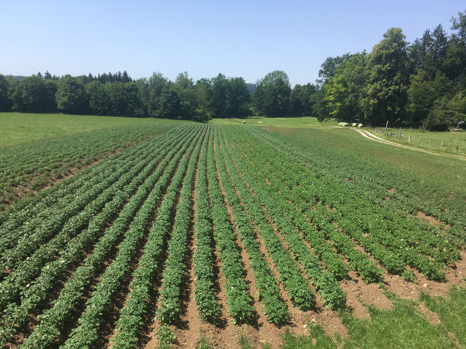 Ende Juni standen die Kartoffeln in voller Pracht