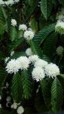 Kaffeeblüte in Indien