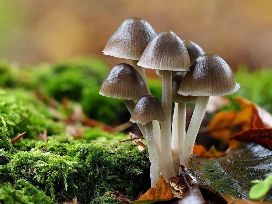 Ein Gruppe Pilze steht auf einem Baumstumpf. Feuchtes Moos und welke Blätter weisen auf einen feuchten Herbsttag hin.